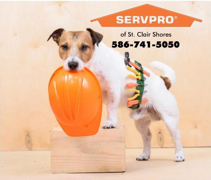 A fox terrier is shown holding an orange hard hat and is wearing a toolbelt filled with construction tools.